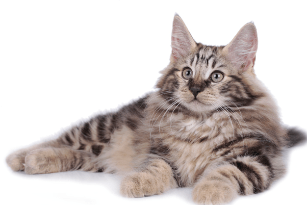 16 Rare Cat Breeds Cat lifespan, Norwegian forest cat