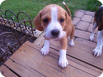 Nashville Tn Beagle Mix Meet Bernadette A Puppy For Adoption