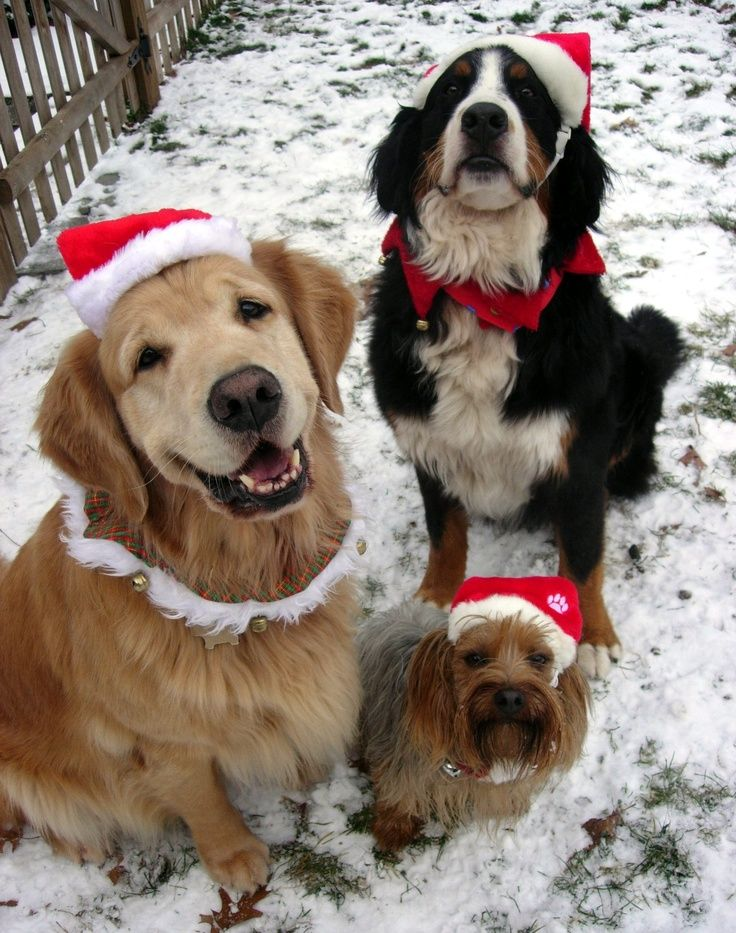 Sђgเรt๓คร Pups With Images Dog Holiday Santa Paws