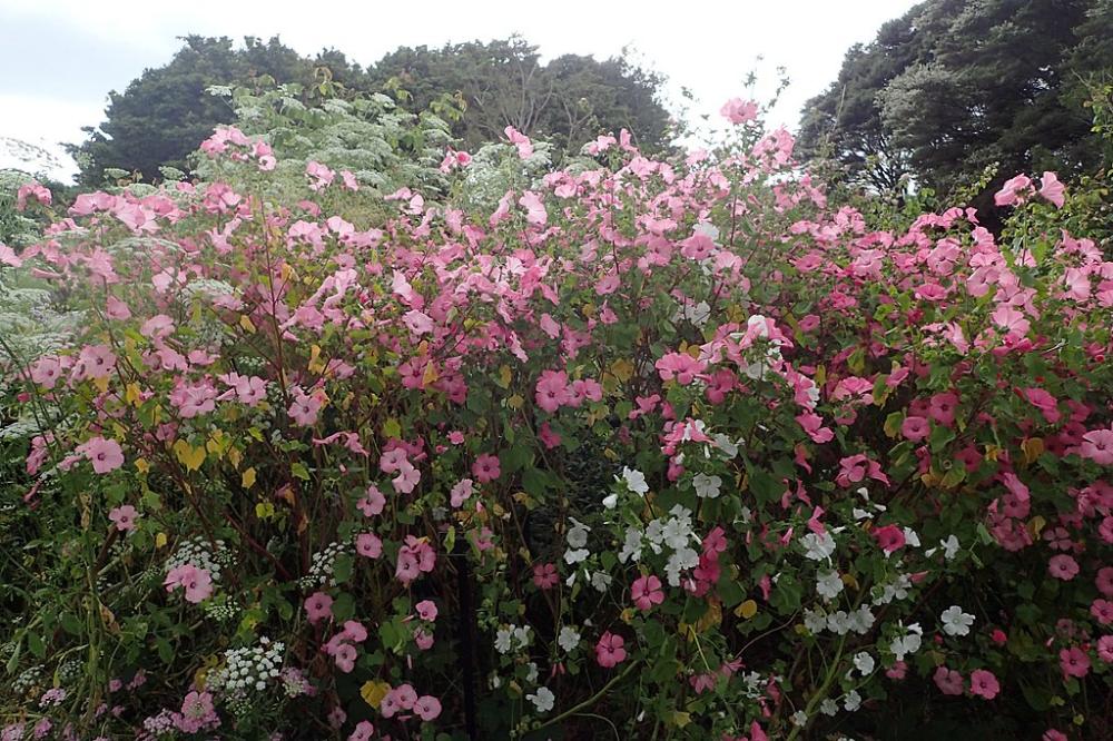 Lavatera Trimestris Kz1 Slazowka Letnia Wikipedia Wolna Encyklopedia Front Gardens Plants Planting Flowers