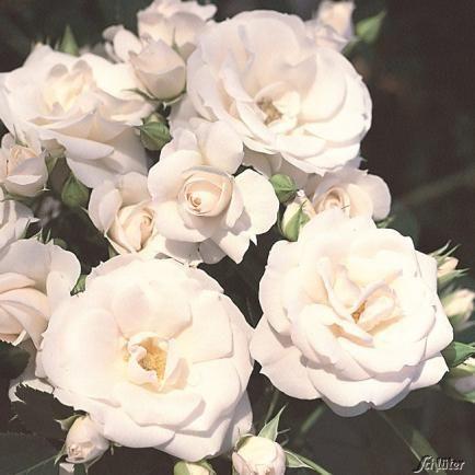Stammrose 'Aspirin Rose®' - ADR-Rose  - 60 cm Stamm