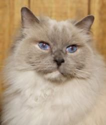 Adopt Moonbeam On Cats And Kittens Cuddly Animals Buy A Cat