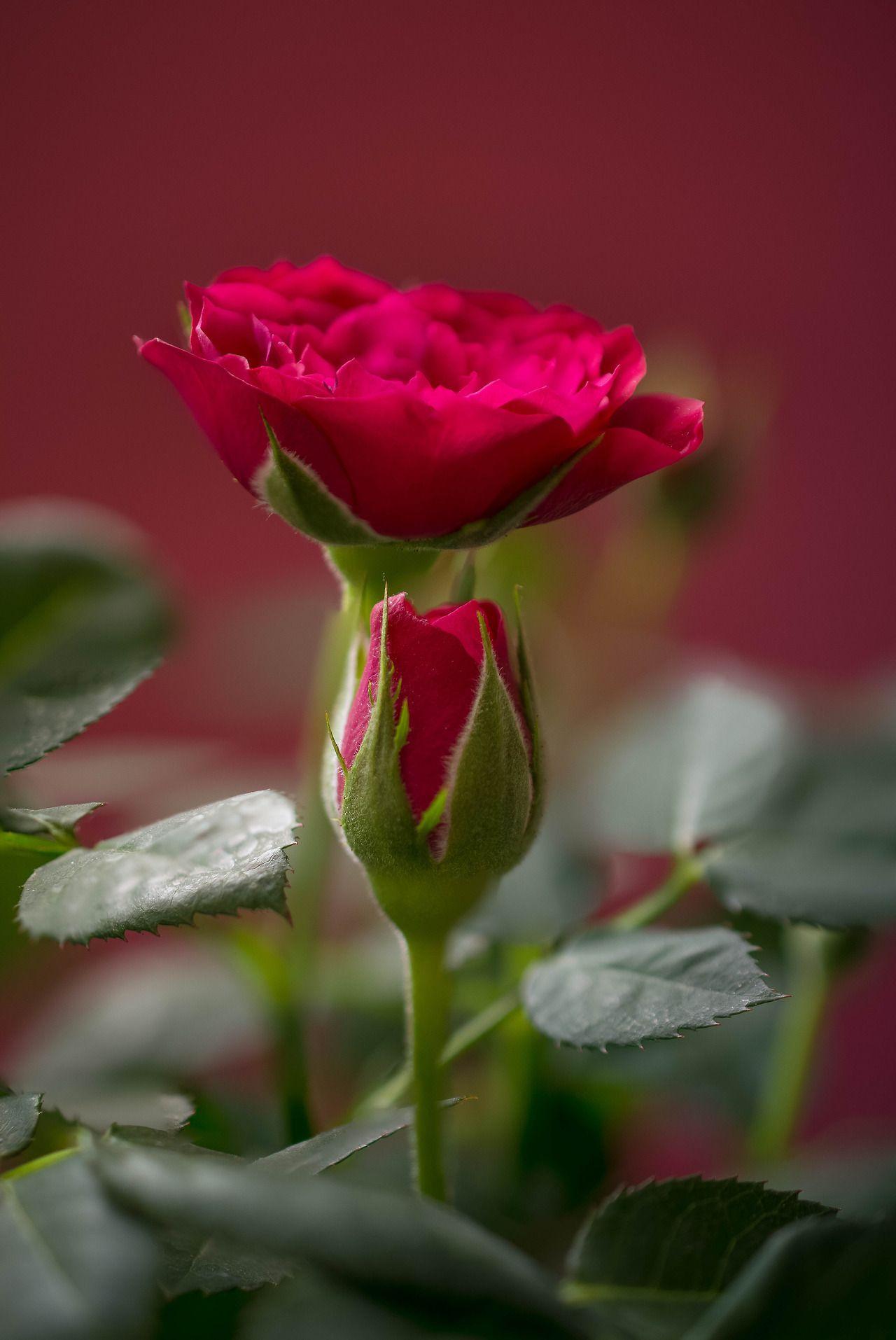 Pin by Rosalen Pastrana on Rosas rojas   Pinterest   Flowers