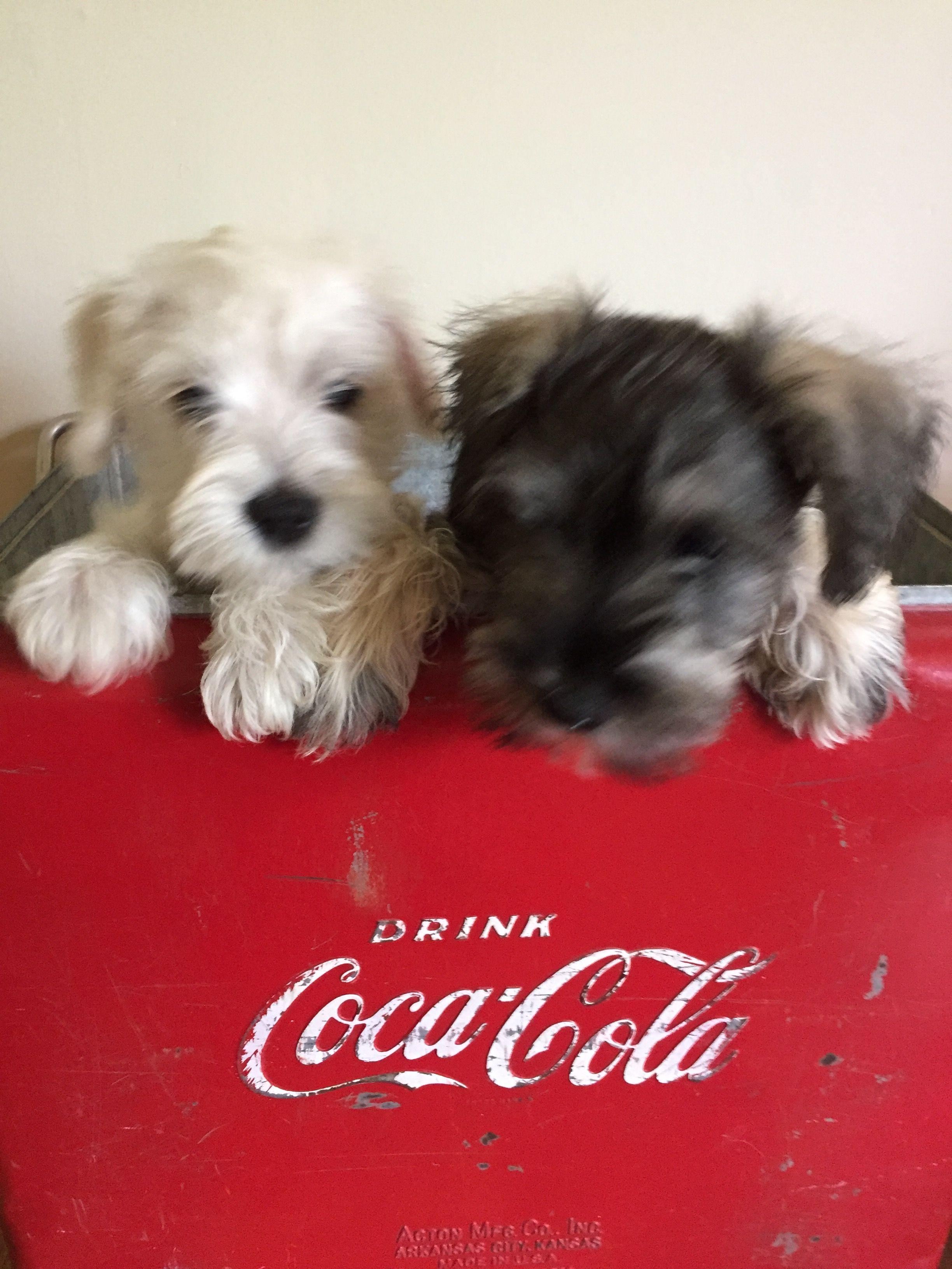 miniature schnauzer puppies for adoption in texas