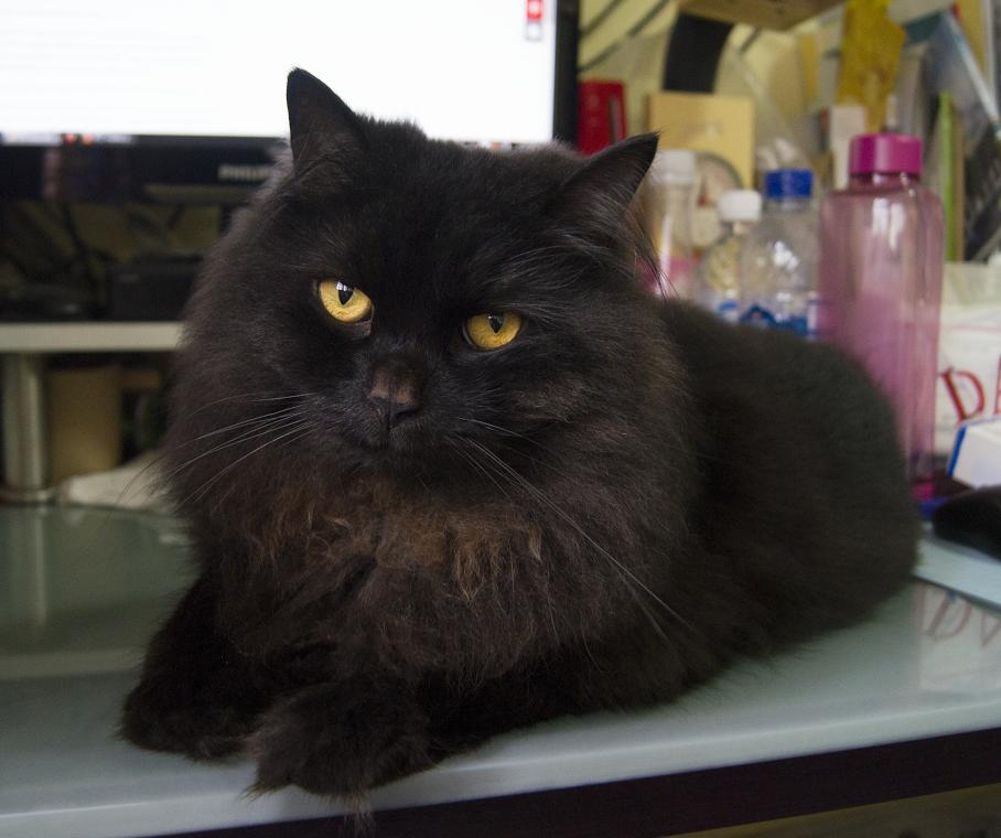 Name of pet Yoru Breed Domestic longfur cat Color