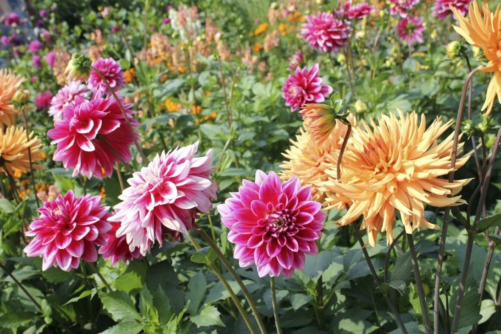 Dividing Dahlia Bulbs How And When To Divide Dahlia Tubers Growing Dahlias Dahlia Flower Dahlia Care