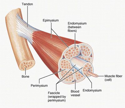 muscle structure diagram - google search | anatomy/medicine, Muscles