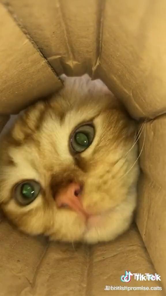 Box Kitty Cuteness Video Cute Animals Cat Memes Funny Animal Videos