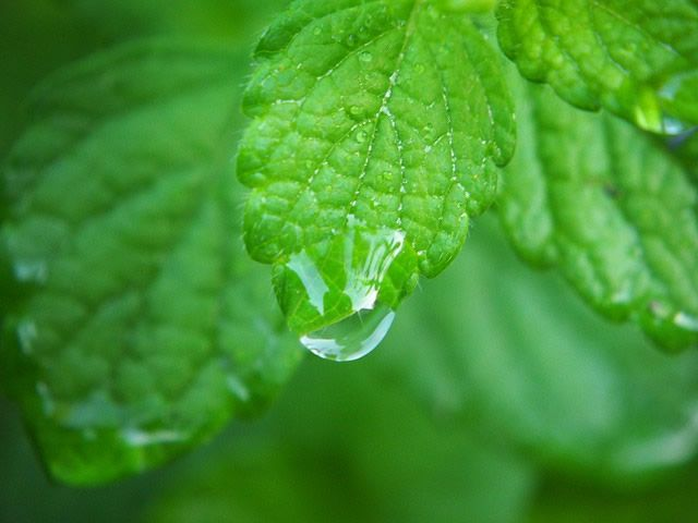 Lemon balm is a herb that belongs to mint family. The leaves, which contain a mild lemon aroma, are used to make medicine. Also, lemon balm is used alone or as part of various multi-herb combination products. Research experts reported that lemon balm offers many health benefits. lemon balm benefits / pixabay How Does