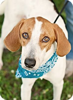 Portsmouth Ri Treeing Walker Coonhound Mix Meet Scooby Local