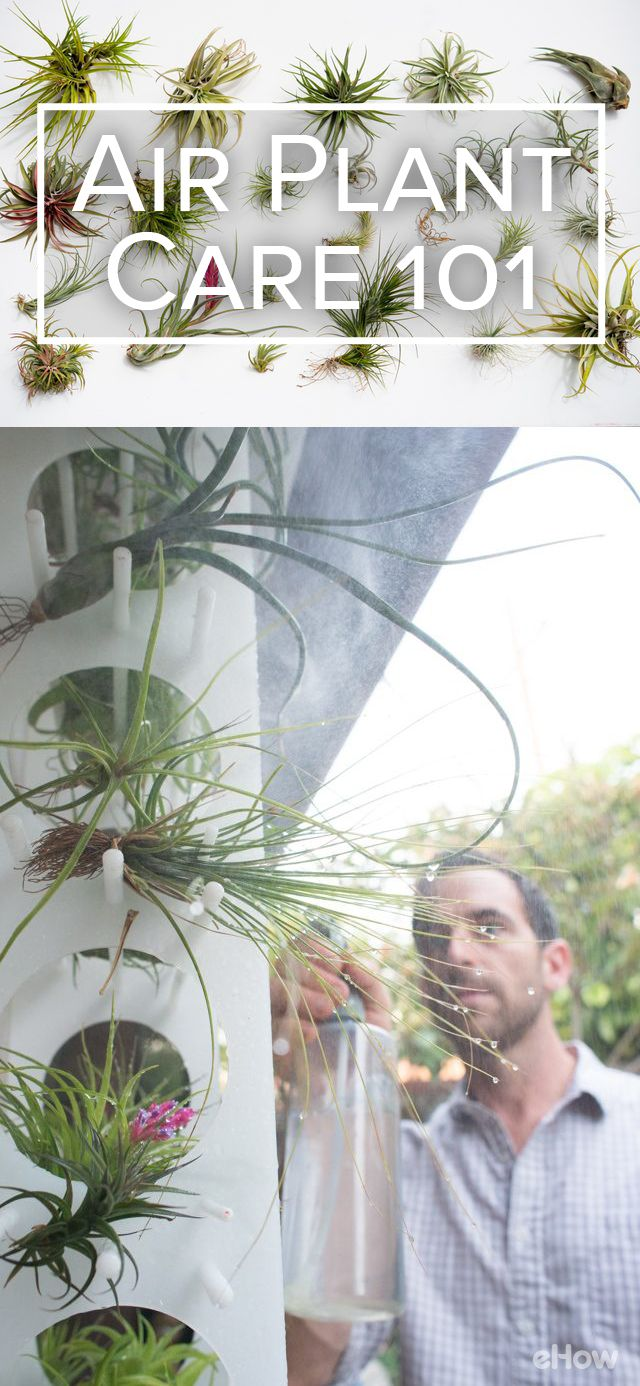 "Air plants (also known as tillies, or tillandsias, after their genus name) can be tricky to keep alive. Well-intentioned lovers of these plants might mistake ""no soil"" for ""no water,"" which isn't the case. ""Air plant"" does not mean ""breatharian of the plant world."" Get all the tips here: http://www.ehow.com/how_12340933_air-plant-care-101.html?utm_source=pinterest.com&utm_medium=referral&utm_content=freestyle&utm_campaign=fanpage"