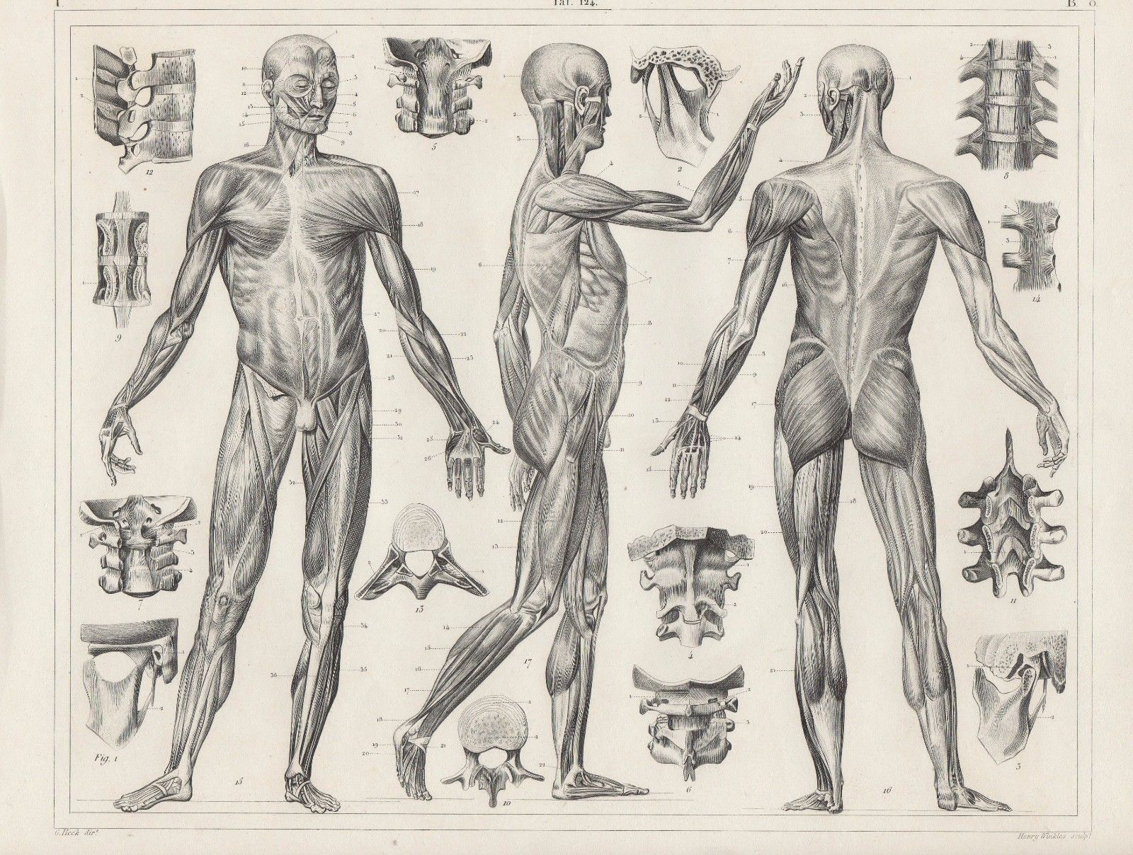 Original antique print vintage 1851 engraving anatomy ligaments ...
