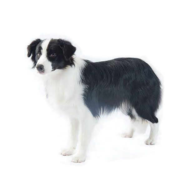 Border Collie With Images Border Collie Collie Breeds Collie