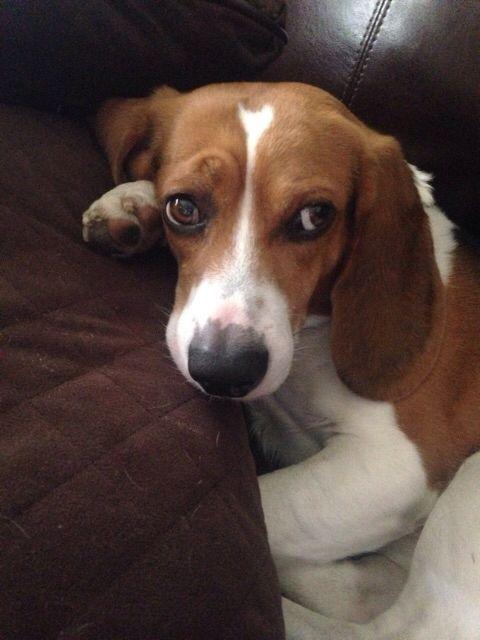 Beagle Friendly And Curious Beagle Buddies Beagle Dog Beagle