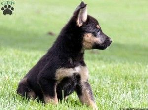 German Shepherd Blue Heeler Mix Puppies For Sale Cute Baby
