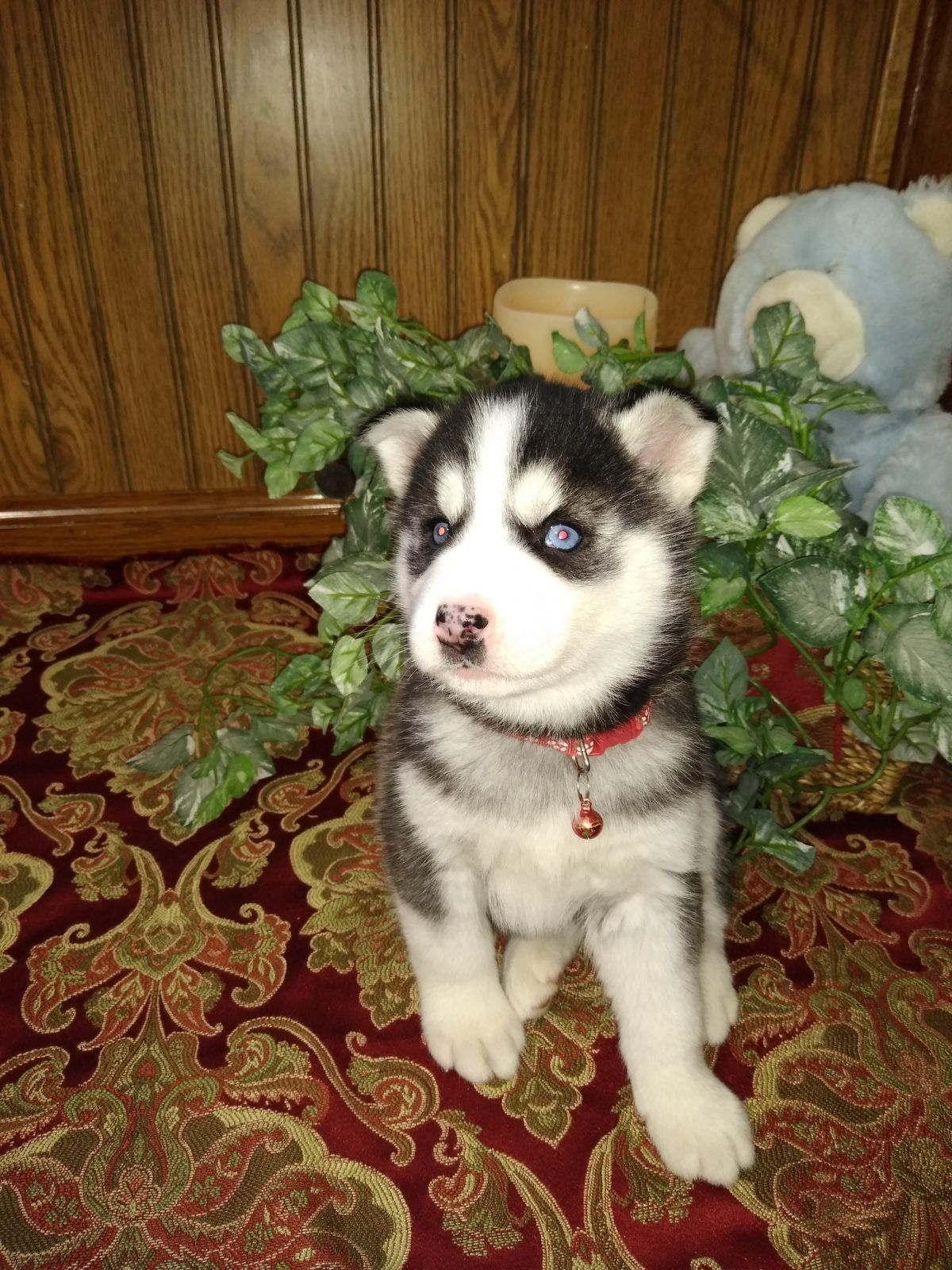 Sadie A Female Aca Siberian Husky Puppy For Sale In Grabill