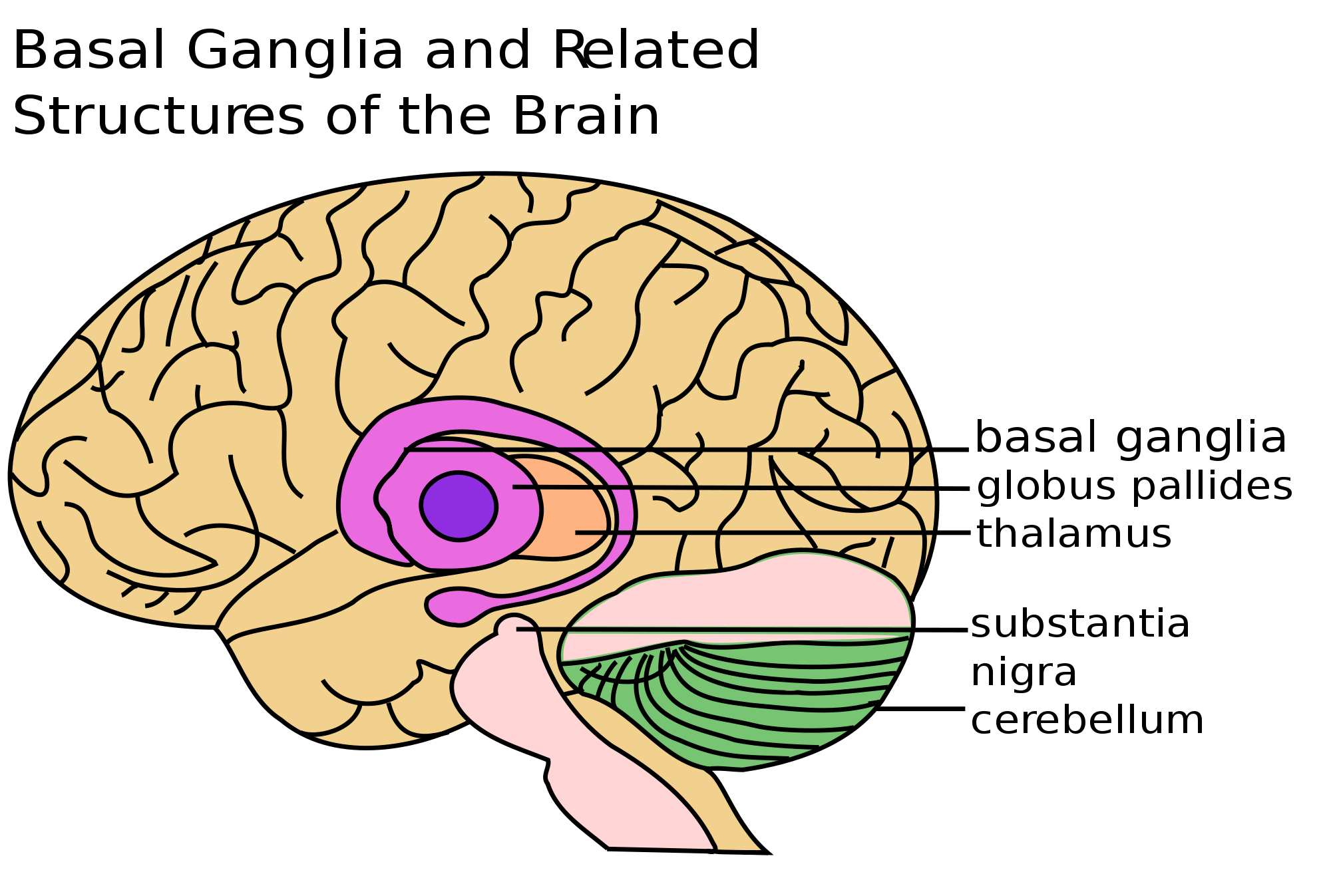 Basal ganglia and related structures of the brain   Via Wikipedia ...