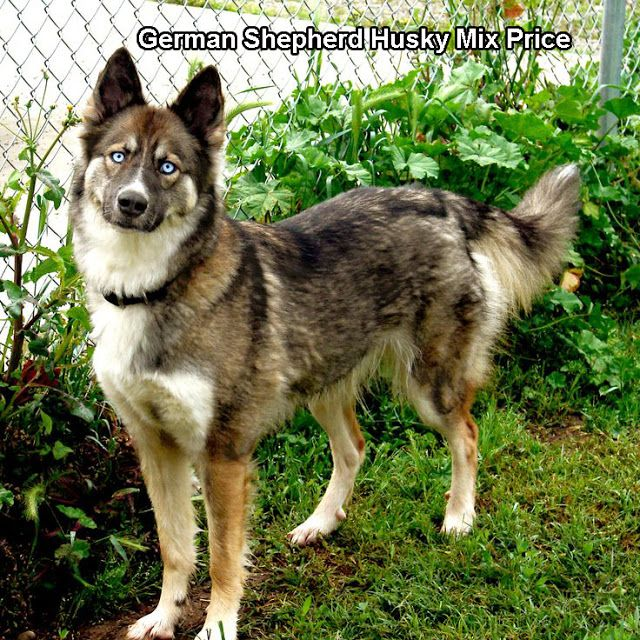 German Shepherd Husky Mix Price Http Www Germanshepherdfacts Us