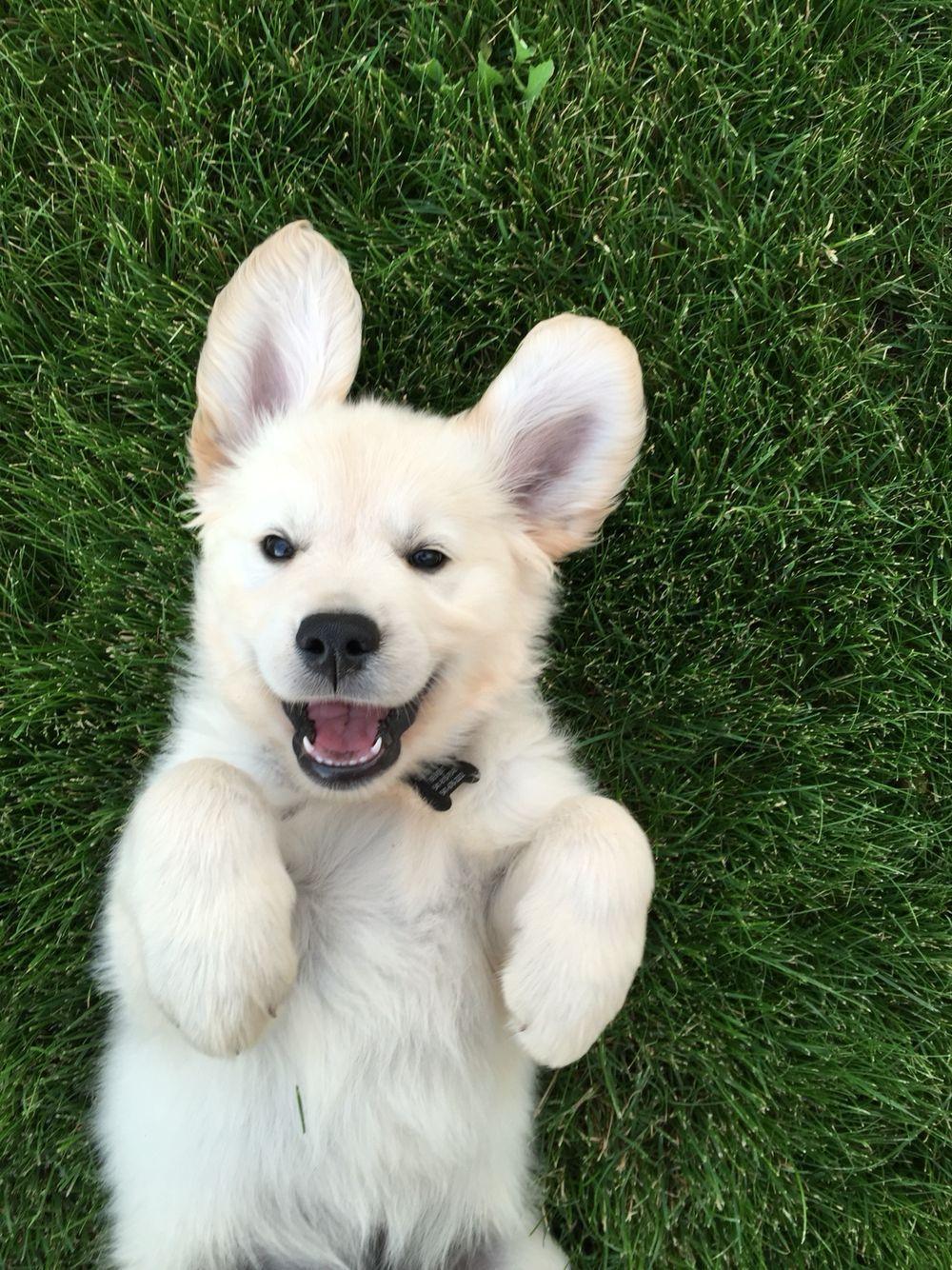Cooper The English Cream Golden Retriever Bend Oregon Goldenretriever Cute Dogs Cute Animals