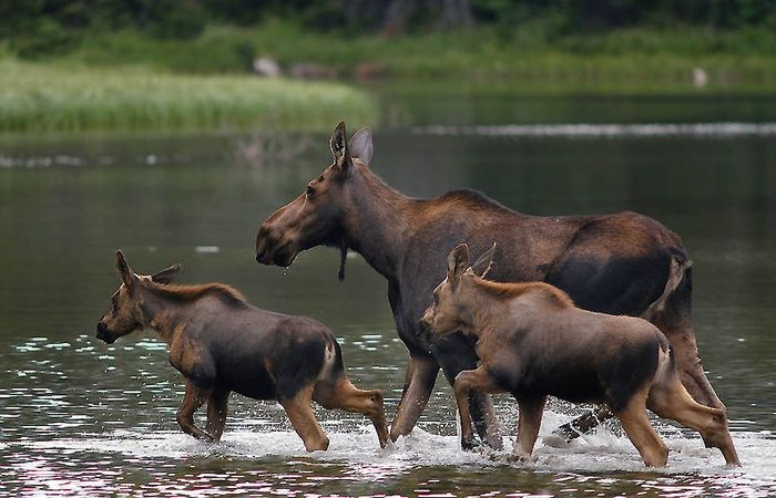 Image result for moose family