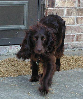 Boykin Spaniel Pictures And Photos 1 Boykin Spaniel Spaniel Dog Breeds Pictures