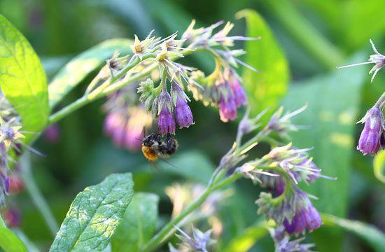 Smeerwortel: topper als compost, bijenlokker en medicijn