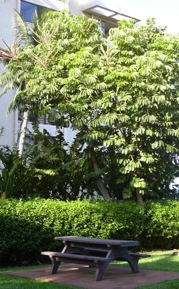 Schefflera strahlenaralie zimmerpflanzen for Zimmerpflanzen ideen