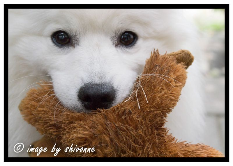 #dog #cute #white  #japanesespitz #imagesbyShivonne  Piper with his toy.