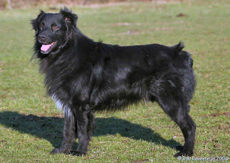 Australian Shepherd Black Bi With Minimal White Australian
