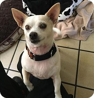 West Vancouver Bc Chihuahua Jack Russell Terrier Mix Meet