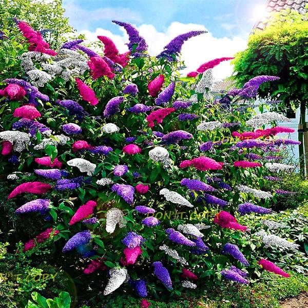 Budleja Trojkolorowa Zestaw Small Garden Landscape Plants Flower Garden