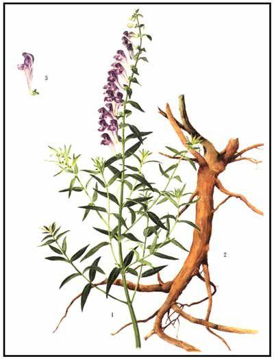 Scutellaria Lateriflora