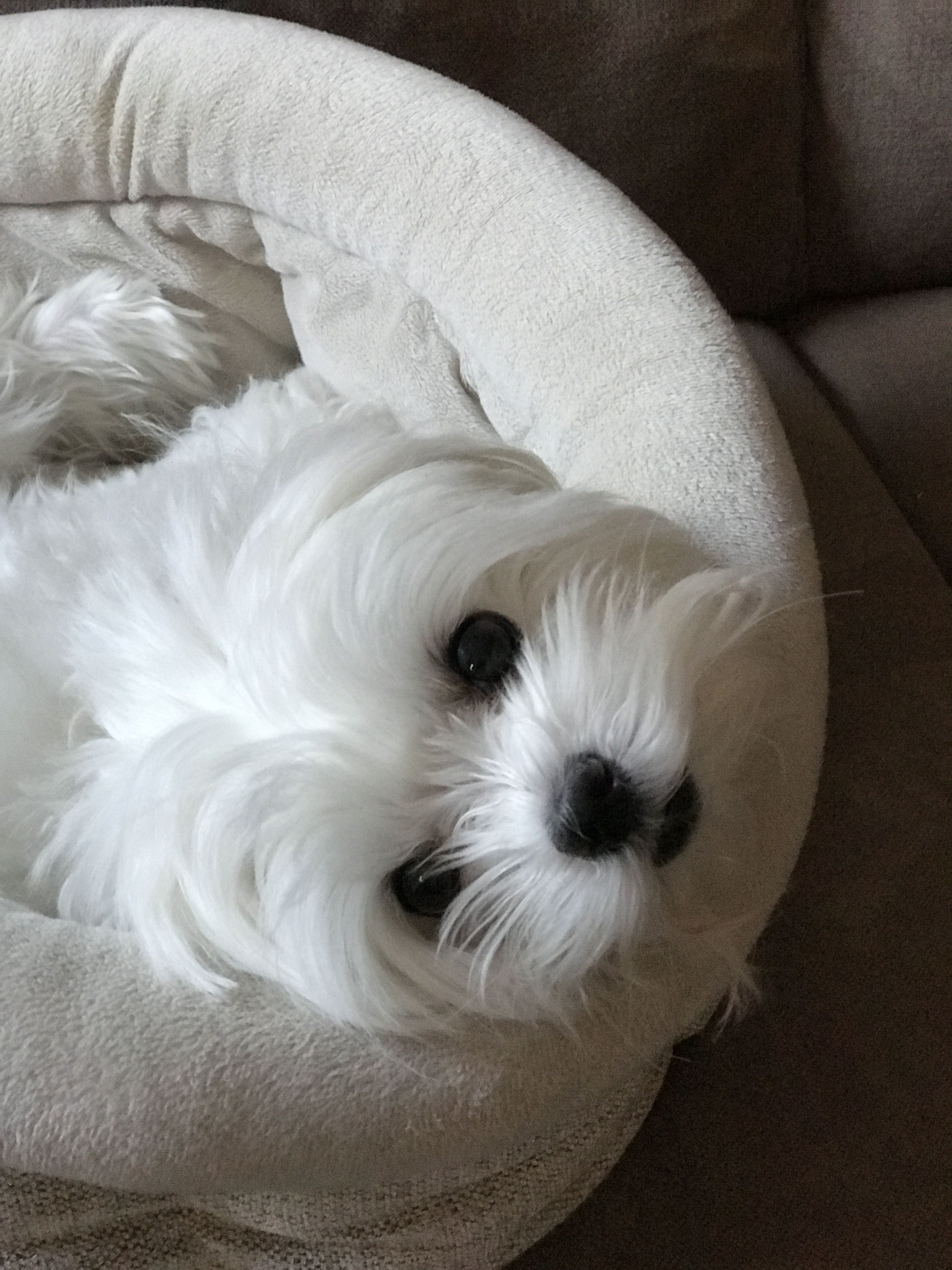 My Eyes Adore You Maltese Maltese Dogs Maltese Puppy Dogs