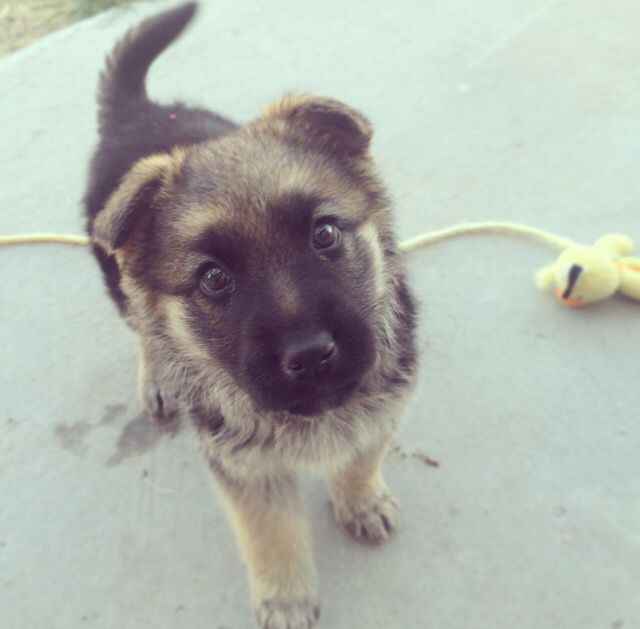 Hi, my name is Zoey and I never get into trouble! My zoey is 13 weeks. Cutest German Shepherd pup!