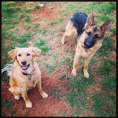 Pup Friends Doggerel Golden Retriever And German Shepherd