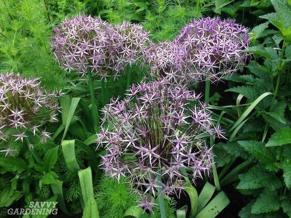 Alliums For The Garden The Best Long Blooming Allium Varieties In 2020 Spring Flowering Bulbs Allium Bloom