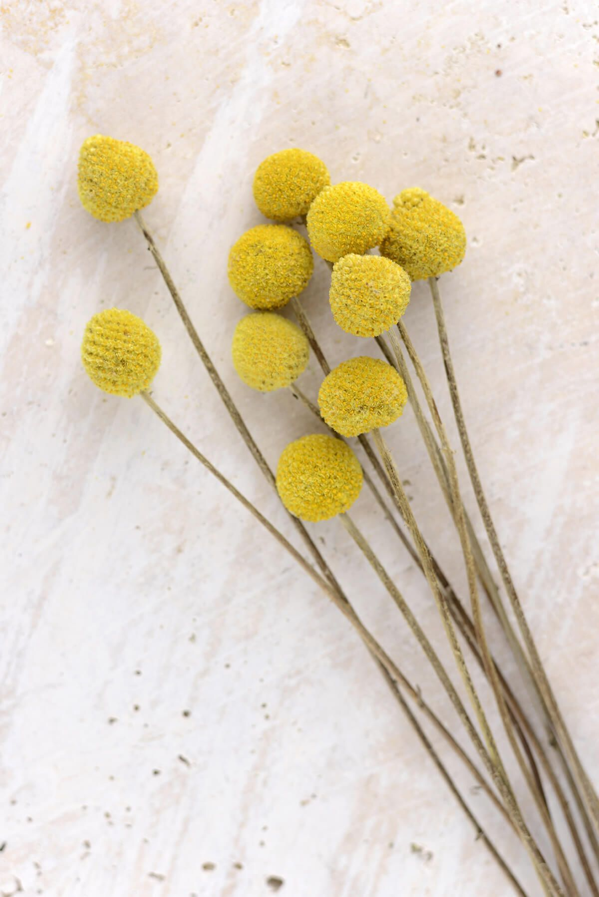 10 Preserved Billy Buttons Craspedia Billy Buttons Flower Pillow Dried Floral