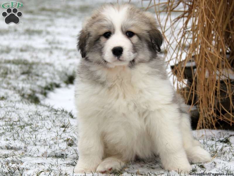 Melba Great Pyrenees Mix Puppy For Sale From Paradise Pa Great