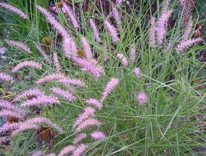 pennisetum orientale karley rose is a hardier variety of fountain grass l and k in progress. Black Bedroom Furniture Sets. Home Design Ideas