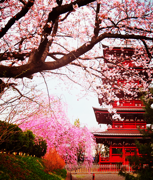 Japanese Gardens In Japan During Cherry Bossom Season Japan Paris Wallpaper Scenery