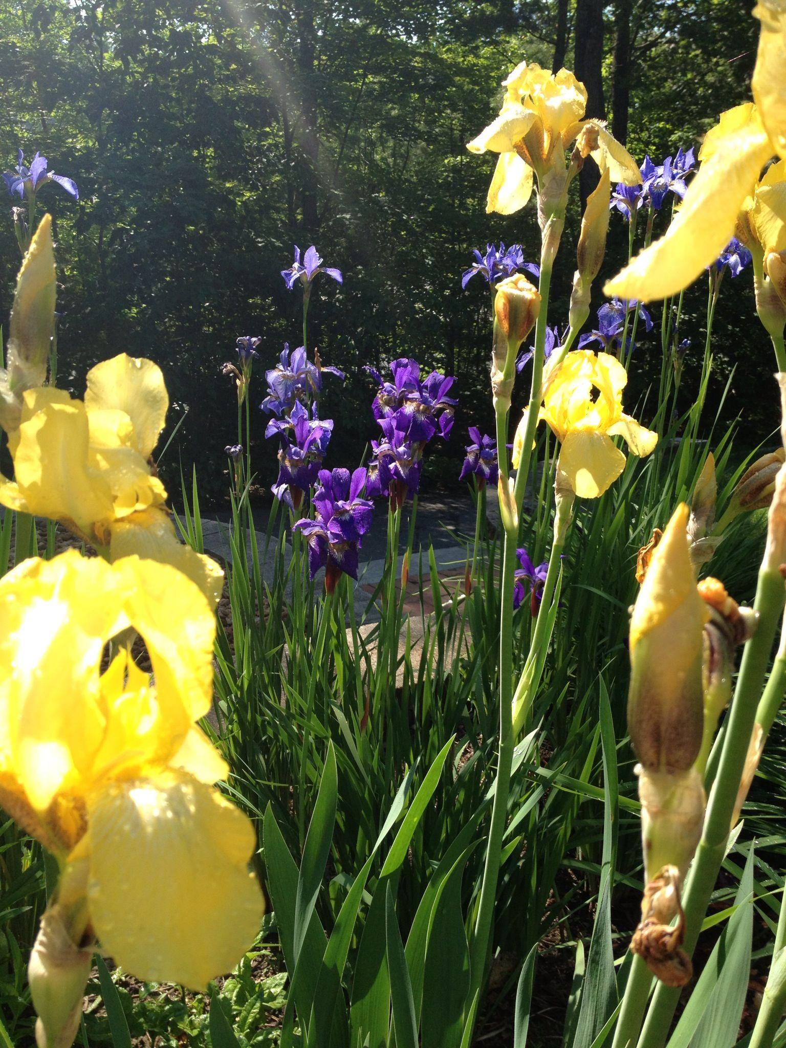 purple & yellow Iris in morning