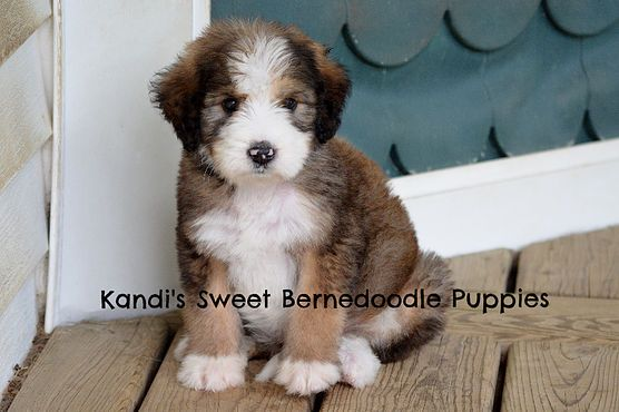 Kandis Sweet Bernedoodle Puppies Pricing And Colors Aww