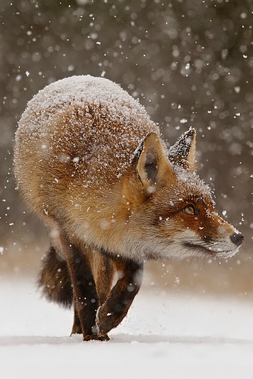 Fox Wow That S Quite A Snow Blizzard Heading In This Direction I D Better Get Home To My Den Fast By Roeselien Raimond Animals Beautiful Fox Animals