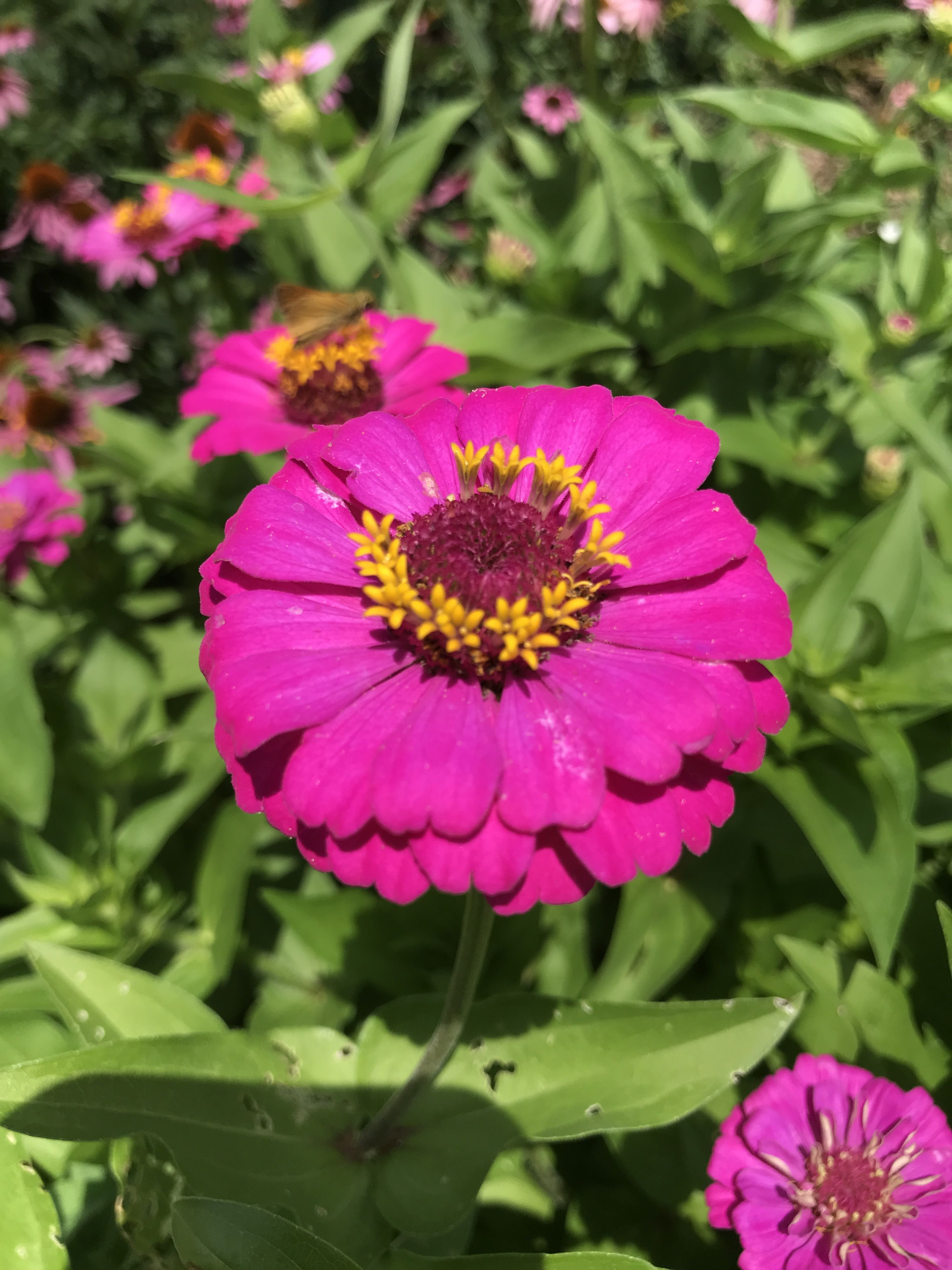 Zinnia from Water Wise Garden Wedding officiant