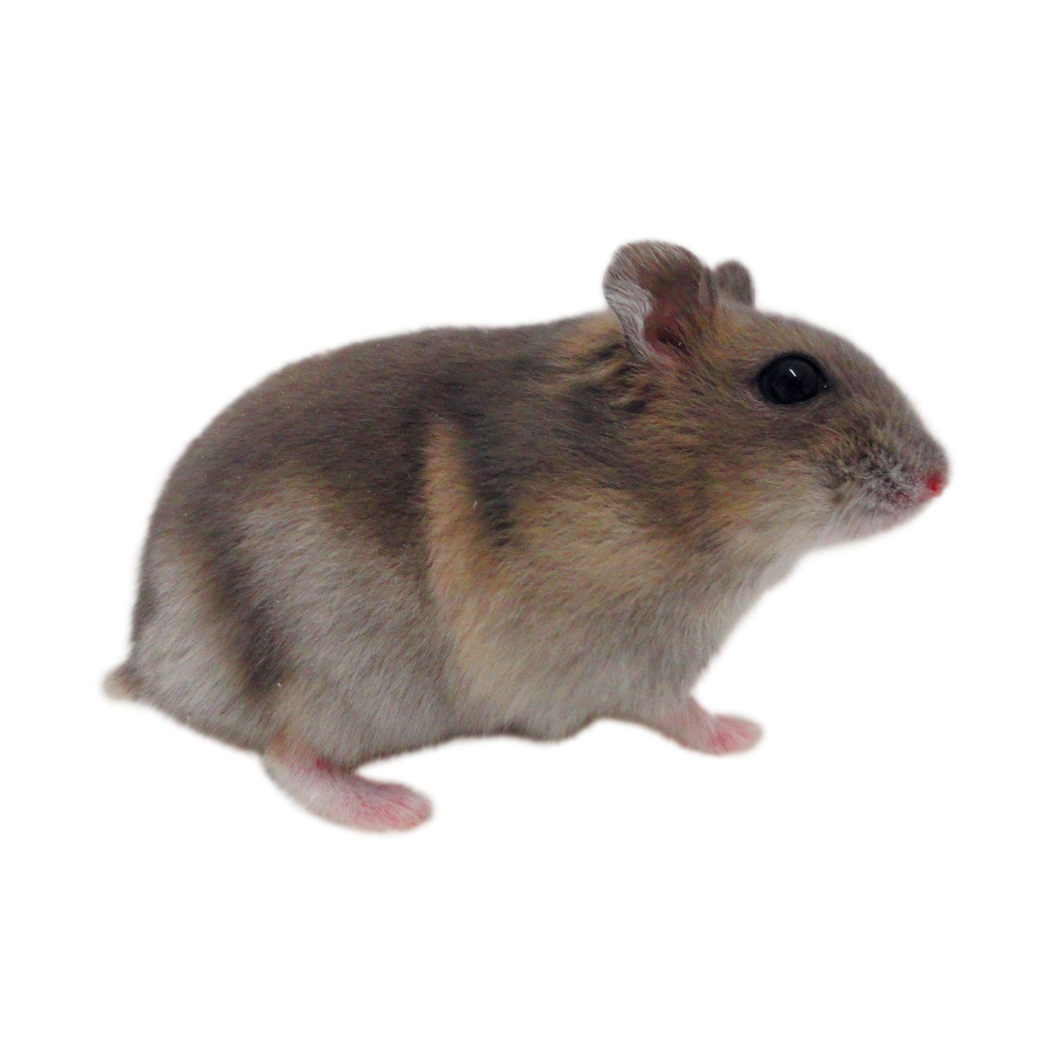 petsmart hamsters prices - HD 1500×1500