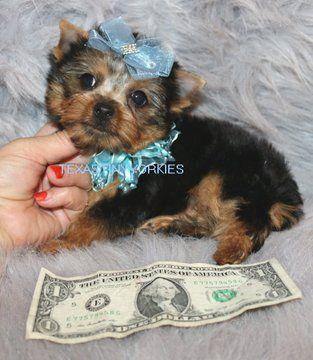 Yorkshire Terrier Puppy For Sale In Abilene Tx Adn 52500 On