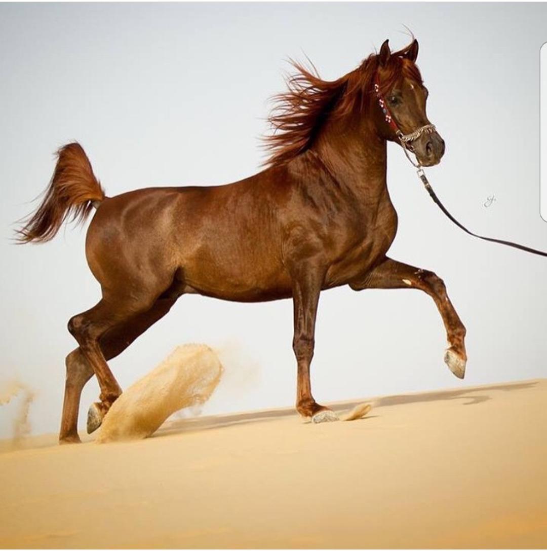 مياز النايف Arabian Horse Horses Animals