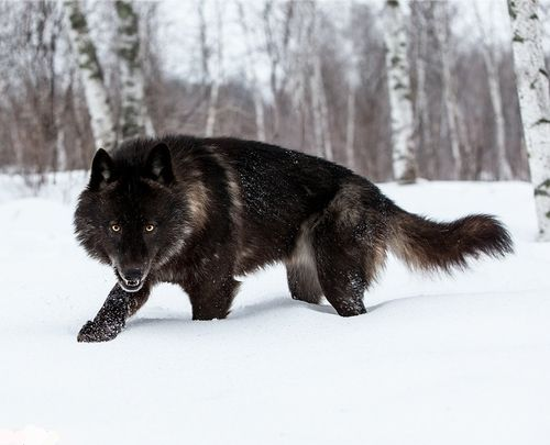 5 Amazing Wolf Hybrids You Have Ever Seen Wolf Hybrid Wolf Dog Black Wolf