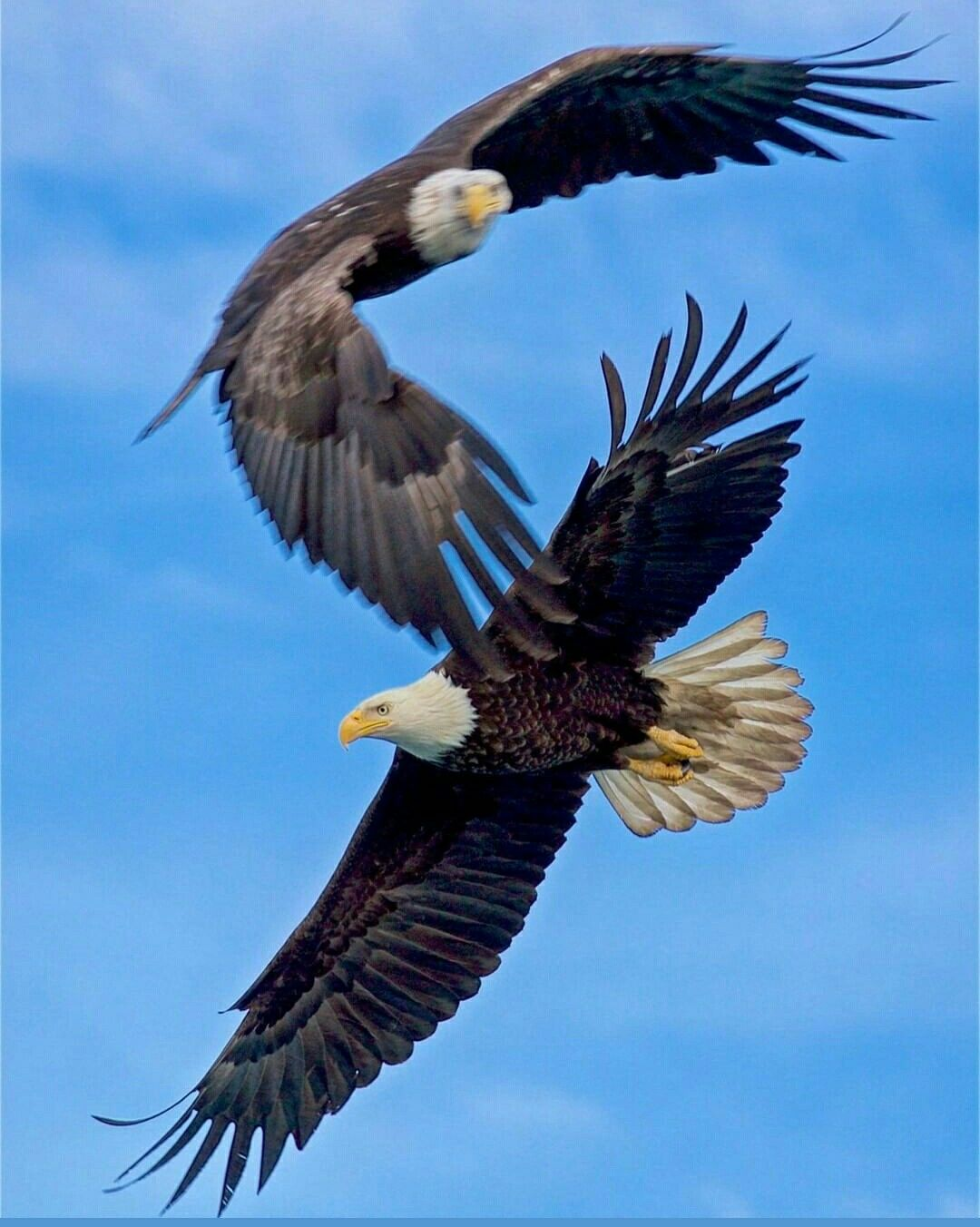Pareja De Aguilas Calvas Aguila Calva Calva Aguila