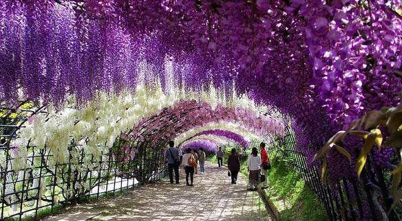 Flower Tunnel In Japan Blauweregen Buiten Bloeiende Bomen